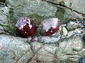 Beadlet anemones - geograph.org.uk - 620724.jpg