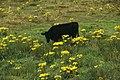 Beara-08-Kuh inmitten gelber Blumen-1989-gje.jpg
