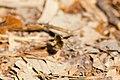 Bee fly (19905679548).jpg