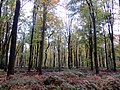 Beech trees - Nov 2012 - panoramio (2).jpg