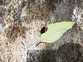 Beetle-4-yercaud-salem-India.JPG