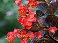 Begonia - Juanita (Begonia semperflores) (15006286850).jpg