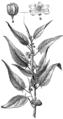 Beklädnadsväxter, Corchorus capsularis, Nordisk familjebok.png