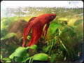 Betta splendens rot.jpg