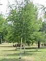 Betula pendula - breza 1.jpg
