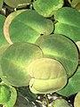 Big leaves Phyllanthus fluitans.jpg