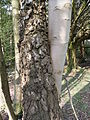 Birch and Ash intertwined, Patterdale, Ullswater.JPG