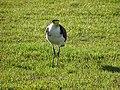 Bird (36396344470).jpg