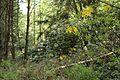 Birken Rhododendron-Wald Venner Moor MG 2356.jpg
