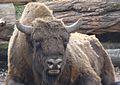 Bison bonasus in Poland (3).JPG