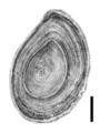 Bithynia tentaculata operculum.png