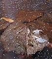 Blätter im Eis erstarrt.jpg