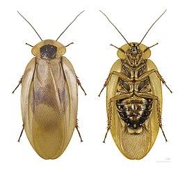 Boven- en onderzijde van Blaberus giganteus