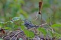 Black-and-white Warbler (Mniotilta varia) (8592688356).jpg