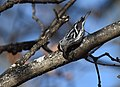 Black-and-white Warbler (documentation photos) (46346269131).jpg