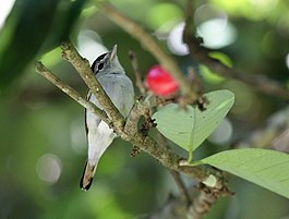 Black-capped Becard.jpg