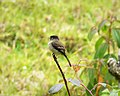 Black-capped Flycatcher Empidonax atriceps - Flickr - gailhampshire.jpg