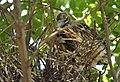 Black-crowned Night-Heron young (48432085381).jpg