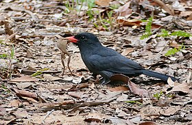 Black-fronted Nunbird (Monasa nigrifrons) just caught a tree frog ... - Flickr - berniedup.jpg