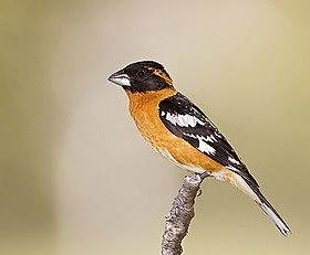 Black-headed Grosbeak (7177972800).jpg
