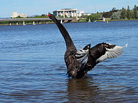 A black swan stretching its wings and neck
