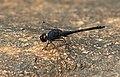 Black stream glider (Trithemis festiva) from Valparai IMG 1897 .jpg