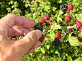 Blackberries, redberries (228631657).jpg