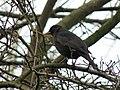 Blackbird (5294281280).jpg