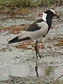 Blacksmith lapwing in Tanzania 4169 cropped Nevit.jpg