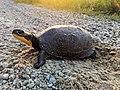 Blanding's Turtle Crossing (42015627054).jpg