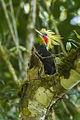 Blond-crested Woodpecker - Intervales NP - Brazil S4E0426 (12900576624).jpg