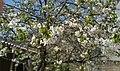 Blossom Cherries.jpg