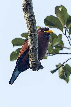 Blue-throated Roller from Canopy Walkway - Kakum NP - Ghana 14 S4E1636 (16011512580).jpg