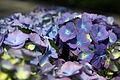 Blue-white-hydrangea - West Virginia - ForestWander.jpg