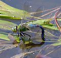 Blue Emperor. . Anax Imperator - Flickr - gailhampshire (1).jpg