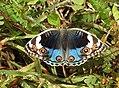 Blue Pansy Junonia orithya swinhoei by Dr. Raju Kasambe DSCN0894 (4).jpg