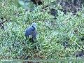 Blue Rock Thrush (Monticola solitarius) (36312536245).jpg