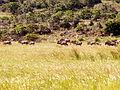 Blue Wildebeest Waterberg Reserve.jpg