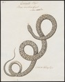 Boa cenchris - 1734-1765 - Print - Iconographia Zoologica - Special Collections University of Amsterdam - UBA01 IZ11900095.tif