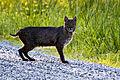 Bobcat (19538302088).jpg