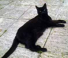 Bombay cat.jpg