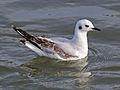 Bonaparte's Gull RWD4.jpg