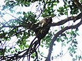 Bonnet macacque Macaca radiata at Matheran Maharashtra India (3). Sleeping on tree..JPG