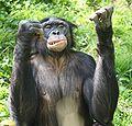 Bonobo3 CincinnatiZoo.jpg