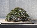 Bonsai United States National Arboretum 8.JPG