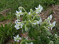 Borago officinalis white flower.jpg