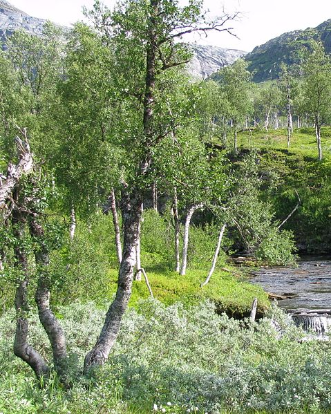 File:Boreal-forest-with-river-arctic-Norway.JPG