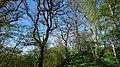 Borgen, oak trees.jpg