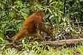 Bornean orangutan (Pongo pygmaeus), Tanjung Putting National Park 09.jpg