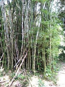 Bambusoideae wikipedia la enciclopedia libre - Cultivo del bambu ...
